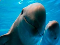 La Vaquita Marina, el cetáceo más pequeño que podría desaparecer