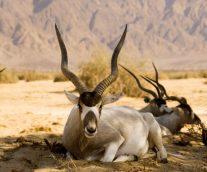 Addax, una especie amenazada por la caza furtiva