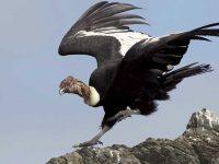 Cóndor Californiano, el ave más antigua de américa del norte