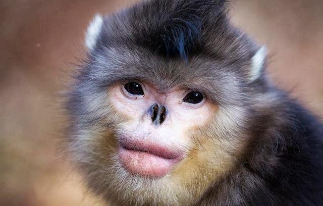 mono de tonkin