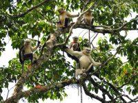 Mono de Nariz Chata de Tonkin, una especie que se creía extinta