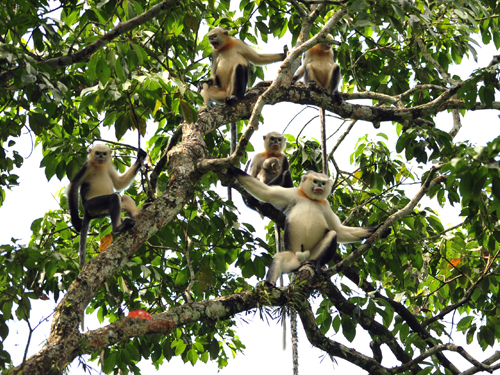 Mono de Nariz Chata de Tonkin, una especie que se creía