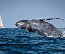 Ballena Azul, inmenso y fascinante cetaceo
