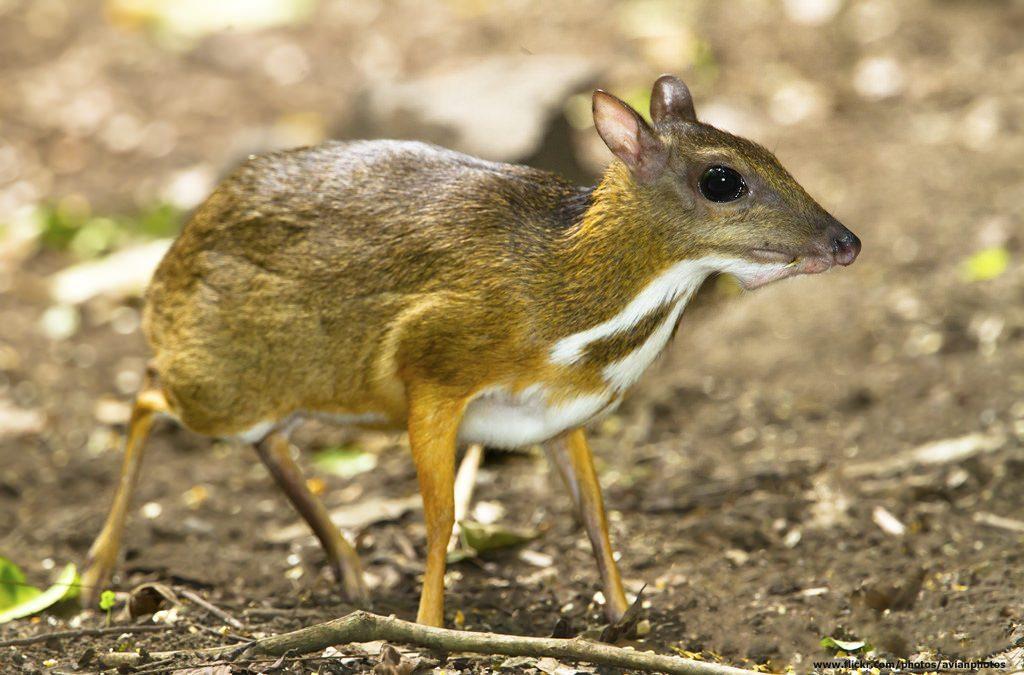 ciervo raton de java