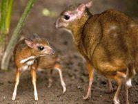 Ciervo Ratón de Java