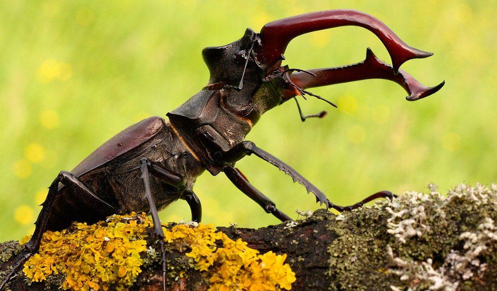 ciervo volante imagen