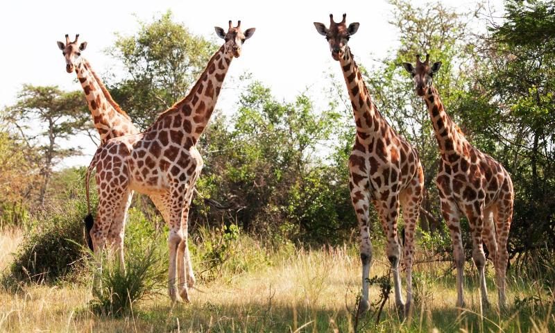 jirafa de baringo imagen