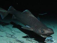 Tiburón Quelvacho