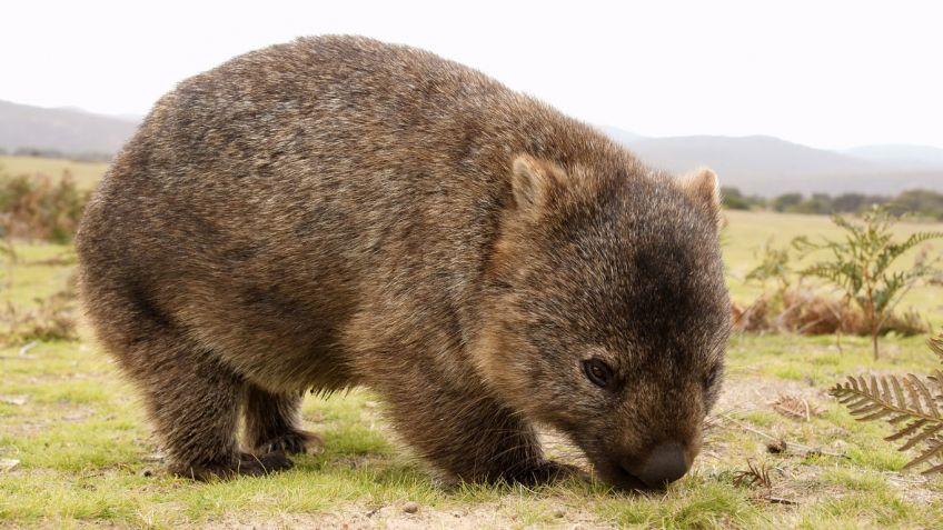 wombat del norte