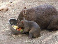 El Wonbat, un curioso marsupial