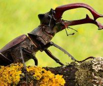 Ciervo Volante, el atemorizante escarabajo
